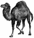 Perl Camel - velbloud Perl